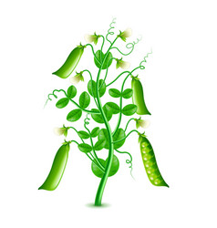 growing peas plant isolated on white vector image