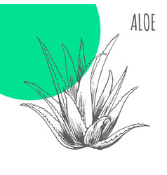 Aloe vera sketch botanical plant vector