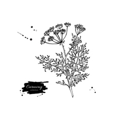 Caraway plant hand drawn vector