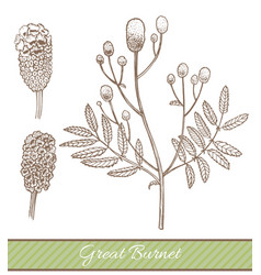 great burnet in hand drawn style vector image