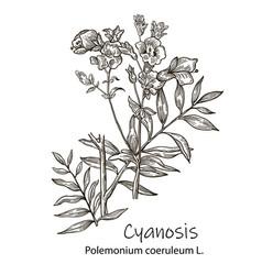 Hand drawn herb botanical plant vector