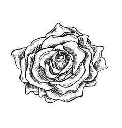 rose flower bud in sketch style blossoming single vector image