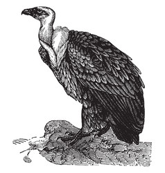 The fulvous vulture vintage vector