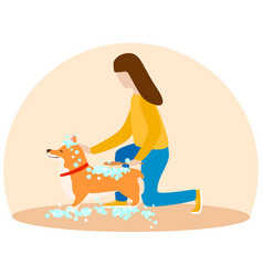 a woman washes her puppy welsh corgi dogs in soap vector image