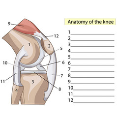 Anatomy subscribe structure knee joint vector
