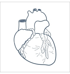 Anatomical heart isolated on white vector image vector image
