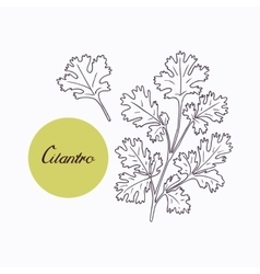 Hand drawn cilantro branch with leves isolated on vector image vector image