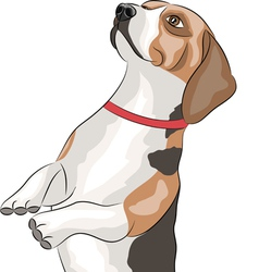 Beagle vector image