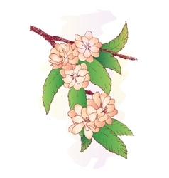 Branch with oriental cherry flowers isolated vector image