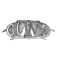 Thorax of acrocinus longimanus vintage vector