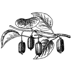 plant actinidia vector image vector image