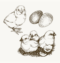 chick breeding hand drawn set engraved vector image