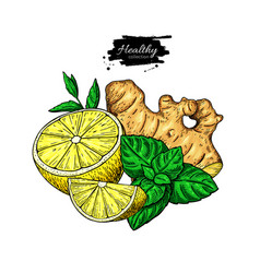 Lemon ginger and mint drawing root hearb vector