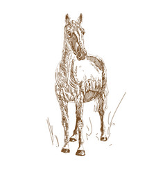 vintage style engraved hand drawn horses vector image
