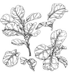 ficus branches and leaves sketch vector image