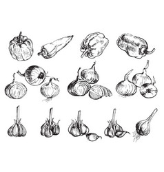 hand drawn onion pepper and garlic vector image