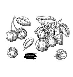 acerola fruit drawing set barbados cherry vector image