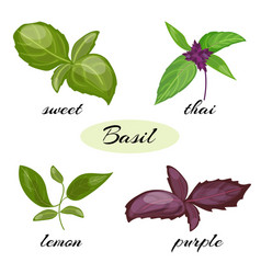 Set of basil leaves different types of basil vector