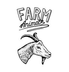 farm animal head of a domestic goat logo or vector image