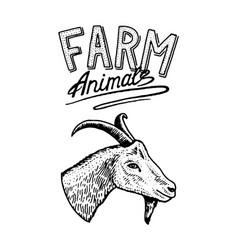 farm animal head of a domestic goat logo vector image