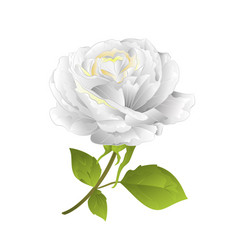 flower white rose on a white background twig vector image
