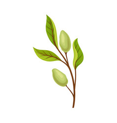 Green almond branch with fruits vector
