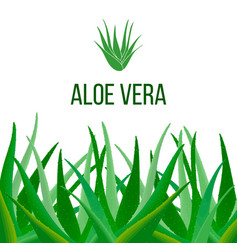 aloe vera poster with text herbal medicine vector image