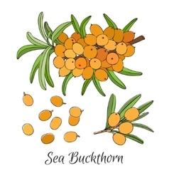branch of sea buckthorn berries vector image