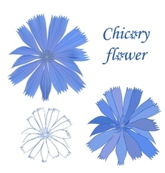 Set of chicory flower isolated on white background vector image