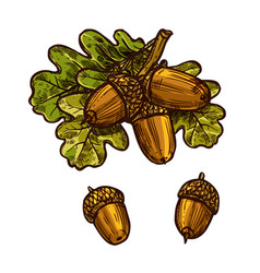 Oak leaf acorn thanksgiving day sketch icon vector