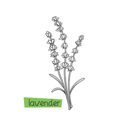 Lavender hand drawn vector