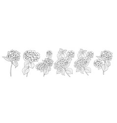 set different hydrangeas on white background vector image