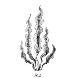 Hand drawn of kombu seaweed on white background vector
