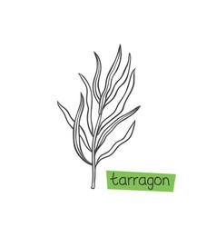 Tarragon hand drawn vector