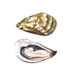 Two halfs of watercolor oyster vector