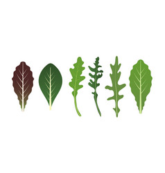 mix salad leaves arugula spinach and lettuce vector image
