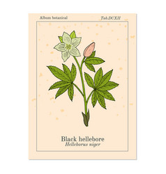 christmas rose or black hellebore evergreen vector image
