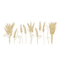 Collection of drawings of wheat ears isolated on vector