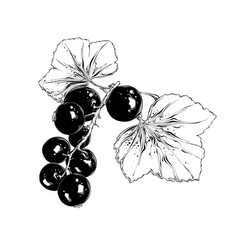 Hand drawn sketch of currant in black isolated vector