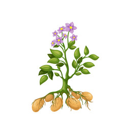 Potato plant vector