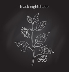 european black nightshade solanum nigrum or duscle vector image