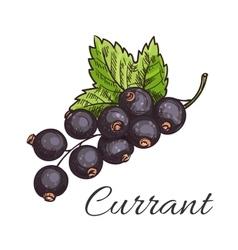 Black currant fruit branch with leaf sketch vector image vector image
