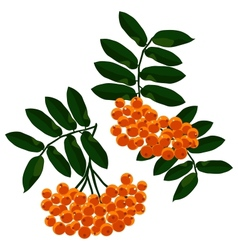 Mountain ash branches set isolated on the white vector image vector image