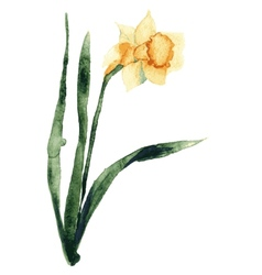 Hand Painted flower narcissus vector