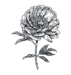 peony flower engraving drawing vector image