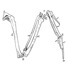 The bones of the right wing of a duck vintage vector