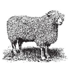 Cotswold ewe vintage vector
