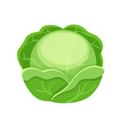 colorful cabbage isolated on vector image