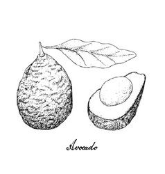 Hand drawn green avocados on white background vector