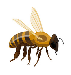 flying realistic honey bee close-up hand drawn vector image